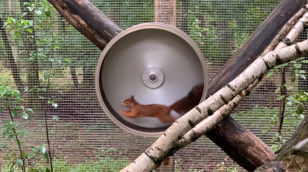 sportliches Eichhörnchen